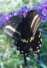 orange butterfly in the rain garden